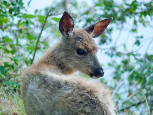 Fluffly Deer - Patrick Blair Roycroft